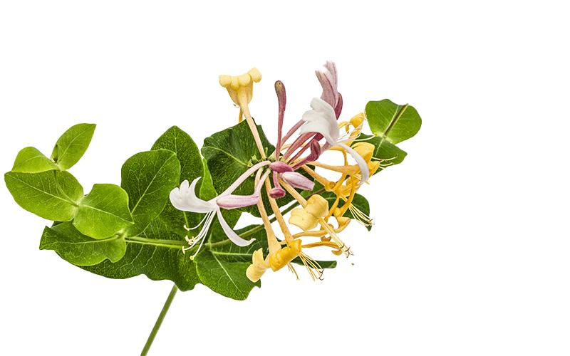 lonicerm cvet 2