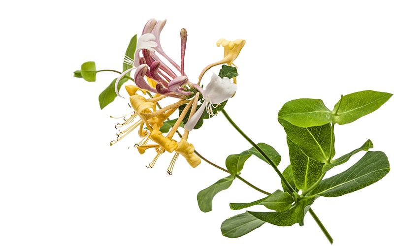 lonicerm cvet